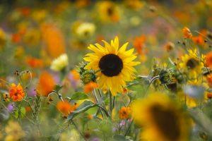 Gartentag Sonnenblume