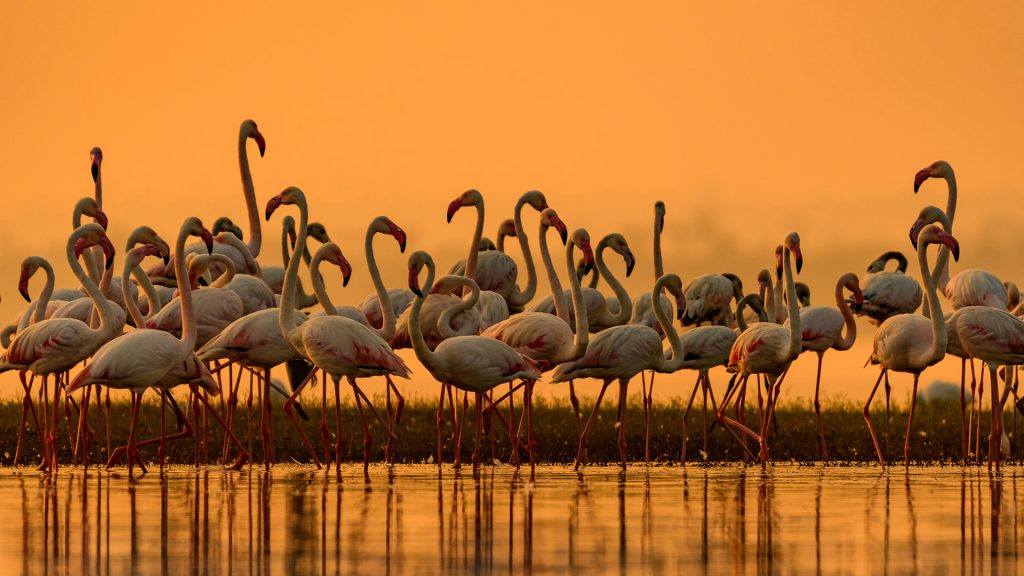Greater Flamingos India