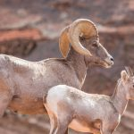 Ibex Utah