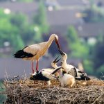 Weissstorch Nest