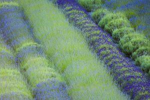 Cowichan Lavender
