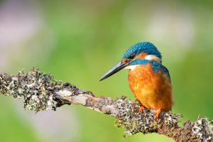 Kingfisher Branch