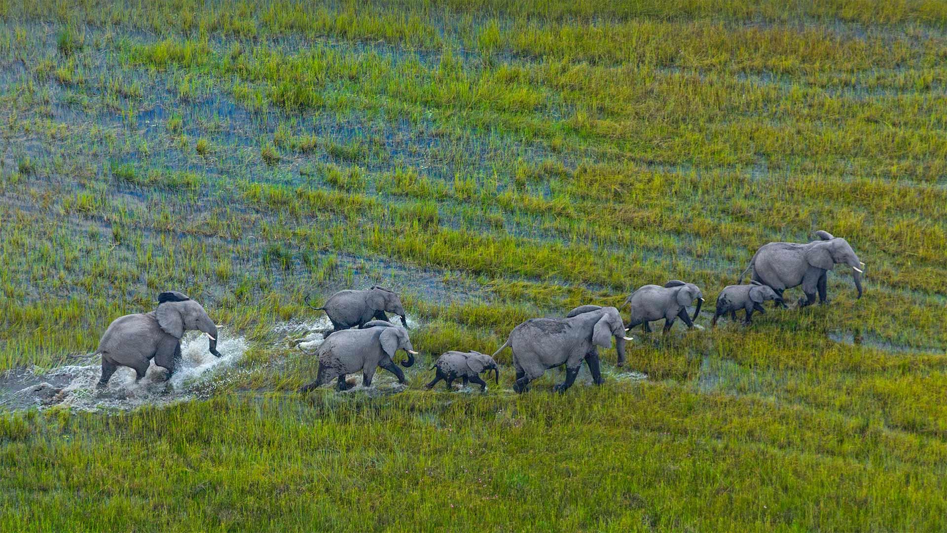 Okavango Herd
