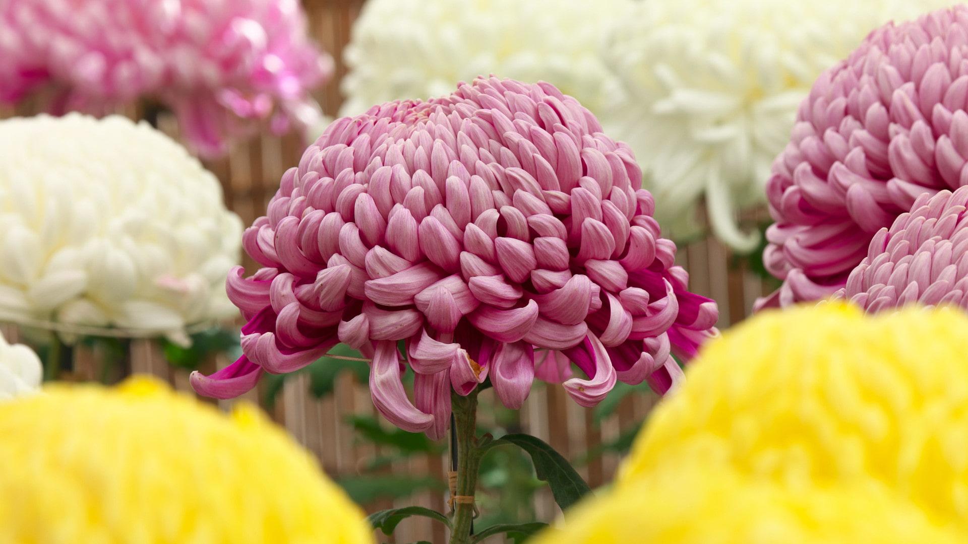Chrysanthemium