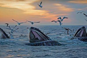 Massachusetts Humpbacks